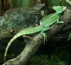 basilisco verde