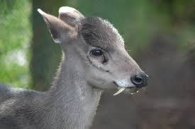 ciervo de copete
