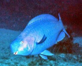 pez loro azul