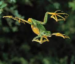 rana voladora de Wallace